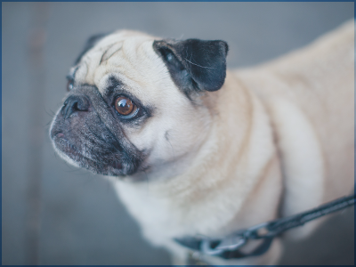 pug, bronte, vet, oakville, pet, insurance